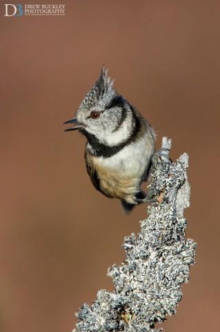 Crested Tit, Lophophanes Cristatus - Scotland