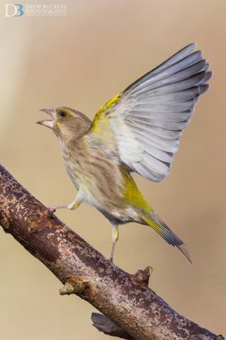 Greenfinch - Carduelis chloris
