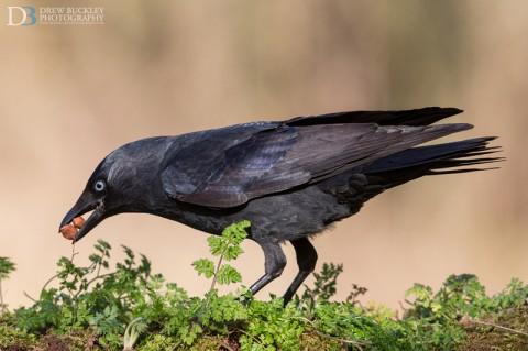Jackdaw; Corvus monedula