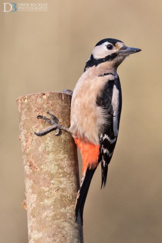 Great spotted woodpecker – Dendrocopos major