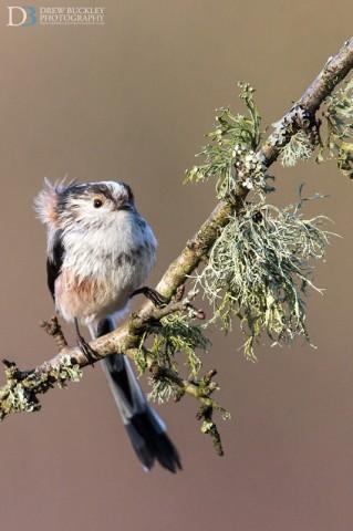 Long-tailed tit; Aegithalos caudatus;