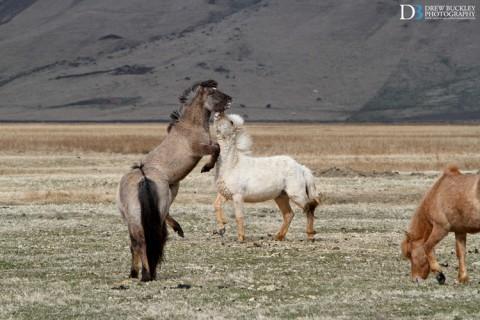 Icelandic ponies playing beneath the Big E