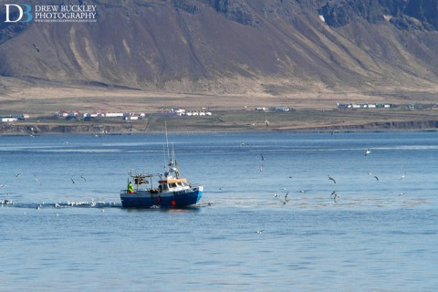 A returning fishing boat being mobbed by gulls, Reykjavik