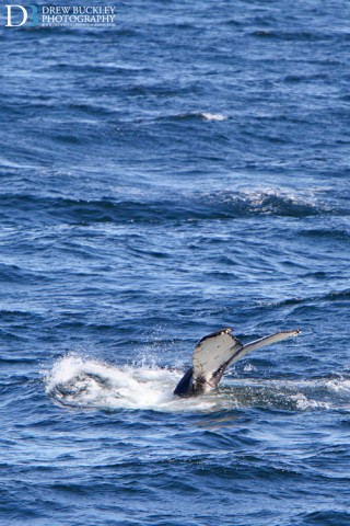 Humpback Whale, Faxaflói Bay, Reykjavik, Iceland