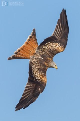 Red Kite (Milvus milvus) photography in Wales