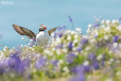 Skomer Island Puffin Photography Day