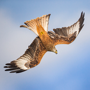 RED KITE PHOTOGRAPHY WORKSHOP