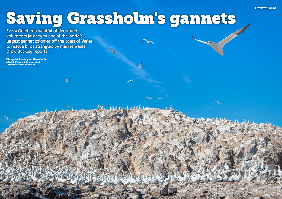 GrassholmGannets