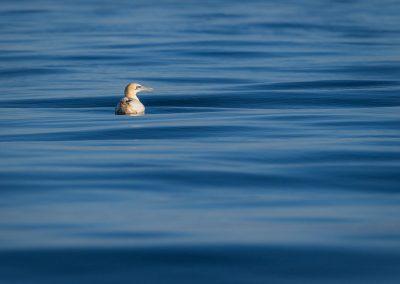 Glorious Gannets Boat Trip
