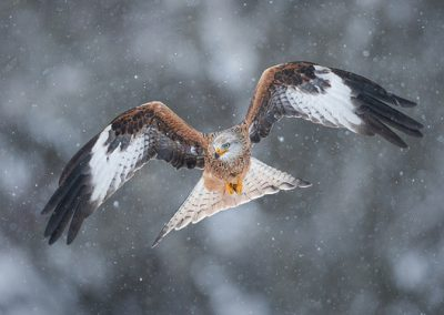 Red Kite (Milvus milvus) flying through snow. Rhayader, Wales, U
