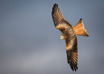 Red Kite (Milvus milvus) wings and plumage illuminated as it tur