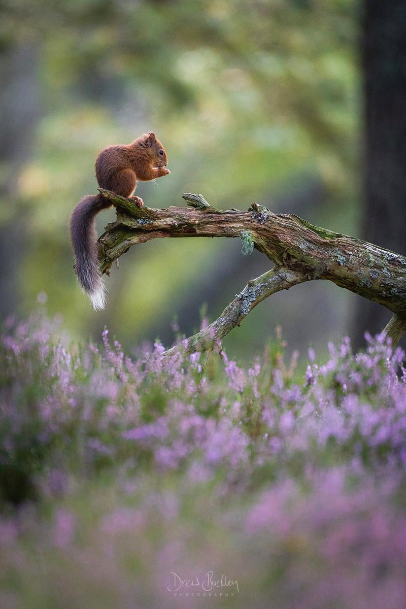 Red Squirrel – Caledonia
