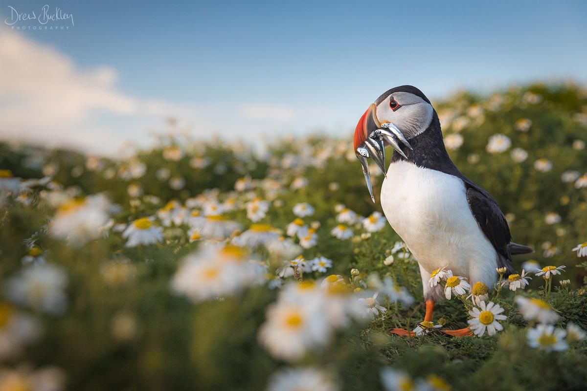 Skomer Puffin – Flowers