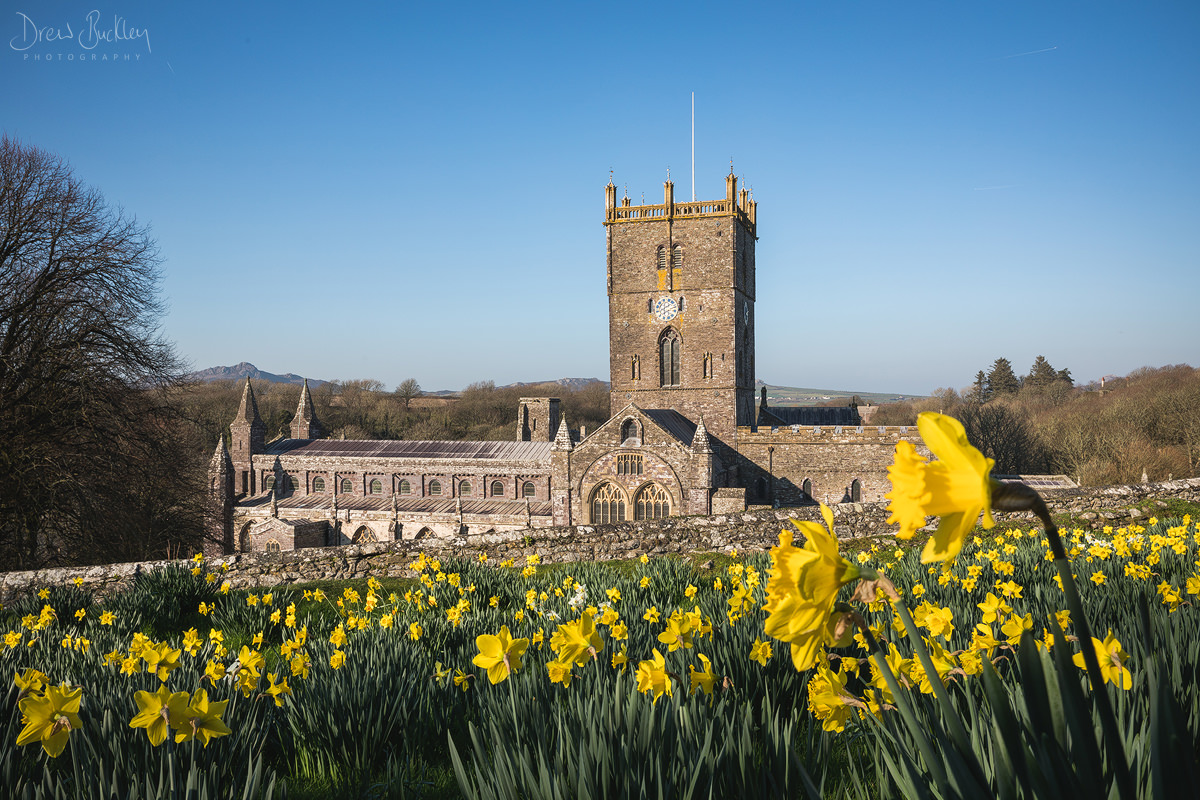 St Davids Cathedral Daffodils