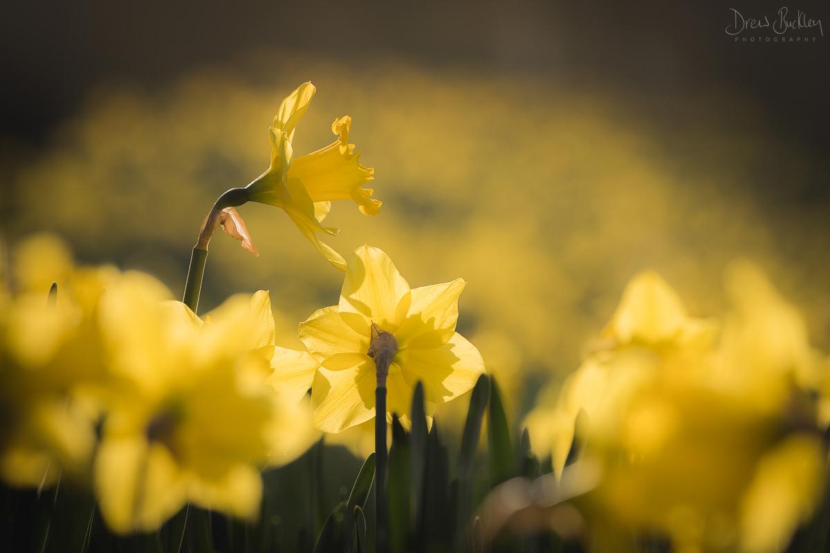 St Davids Daffodils