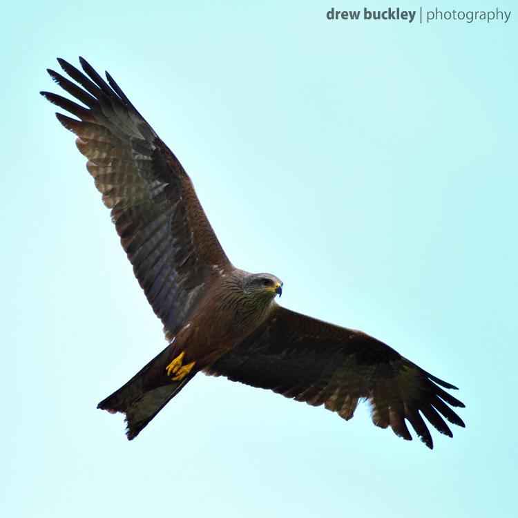 Black Kites, Wild & Free…