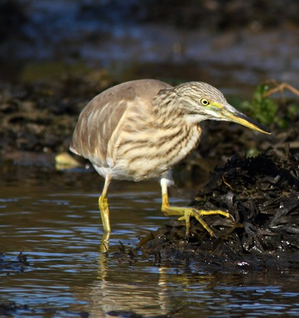 A Rarity! Squacco Heron here in Pembs…