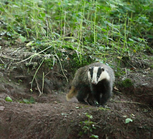 Badger project…