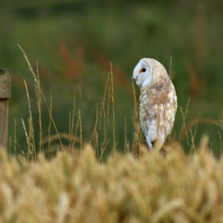 Barn Owls ~ Carlton Marshes, Suffolk…