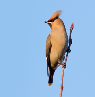 Waxwings at Woburn…
