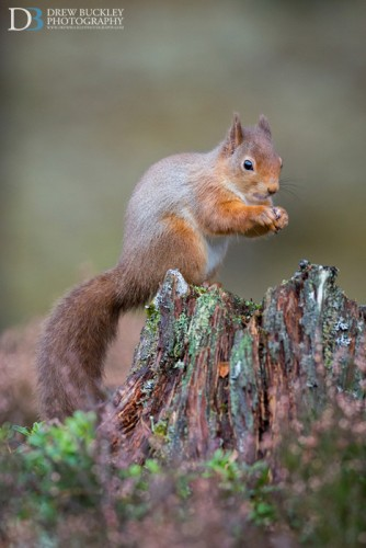 Red Squirrel - Heather