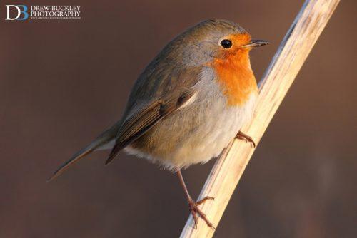 Robin Sunrise