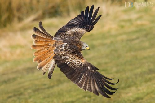 Red Kite - Frozen in time