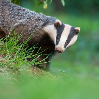 Female Badger - 6th May 2013