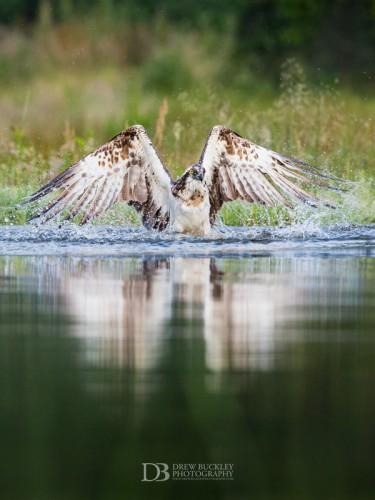 Osprey - Angel Wings