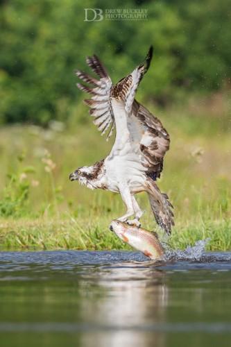 Osprey - Take Off
