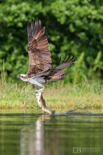 Osprey - Wake
