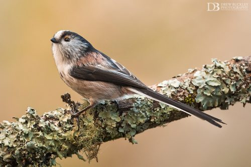 Long-tailed Tit III