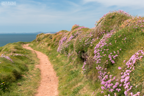 Pembrokeshire Coast Path - Thrift
