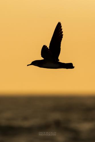 Manx Shearwater Sunset