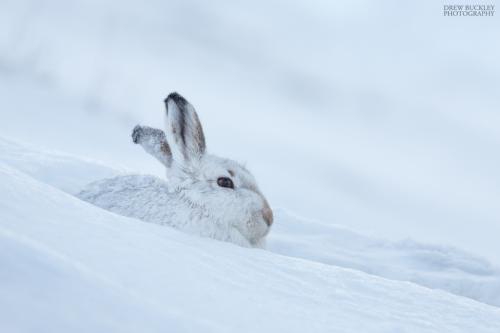 Scottish Mountain Hare Blues
