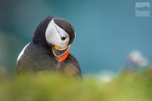 Atlantic Puffin ( Fratercula arctica) preens it wings on Skomer Island, Pembrokeshire