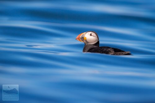 Atlantic Puffin ( Fratercula arctica) bobbing about on the water near Skomer Island, Pembrokeshire