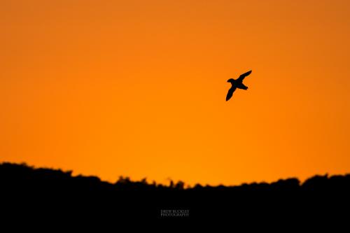 Puffin - Sundown