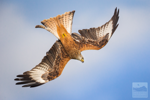 Red Kite - Poetry in Motion