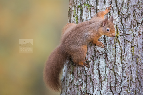 Red Squirrel - Holding On