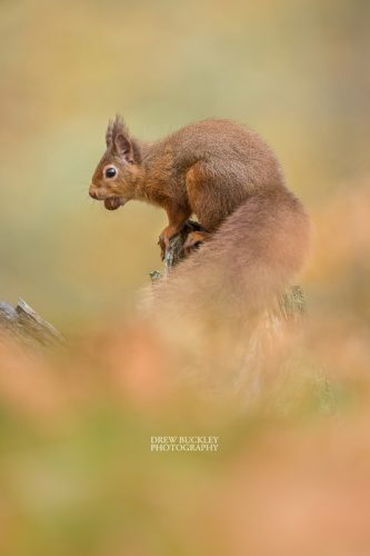 Red Squirrel (Sciurus Vulgaris) holding a nut in it's mouth in a forest in the Cairngorms National Park, Scotland.