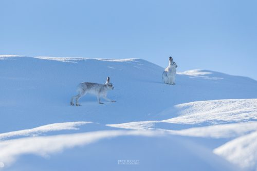 Scottish Mountain Hare (Lepus timidus) running among a snowy landscape in the Cairngorms National Park, Highlands, Scotland, Great Britain