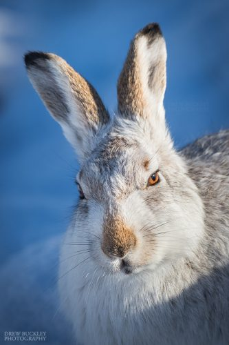 Scottish Mountain Hare (Lepus timidus) portrait in a snowy landscape in the Cairngorms National Park, Highlands, Scotland, Great Britain