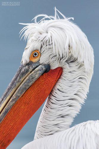 Close up portrait of a Dalmatian Pelican (Pelecanus crispus) on Lake Kerkini in Northern Greece