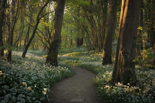 The last rays of sunlight pour into a woodland carpeted with wild garlic flowers. Stackpole, Pembrokeshire, Wales, UK