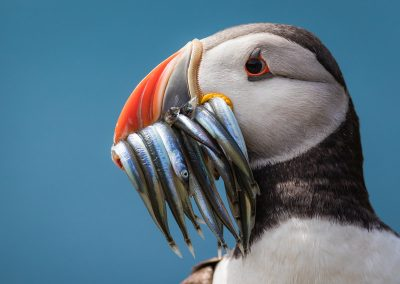 Atlantic Puffin (Fratercula arctica) stood with a mouthful of Sa