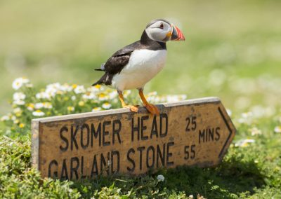 SKOMER ISLAND PUFFIN PHOTOGRAPHY DAY (13)