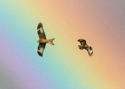 Red Kite (Milvus milvus) and Buzzard (Buteo buteo) taken against