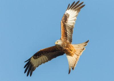 Red_Kite (3) copy